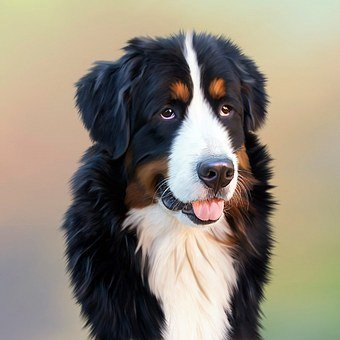 Dog, Bernese Mountain Dog, Senner Dog