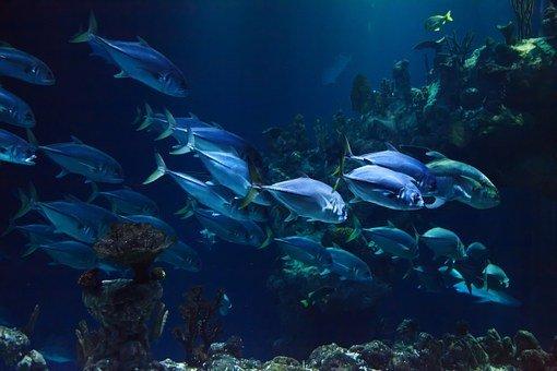 Animal, Aquarium, Aquatic, Blue, Coral