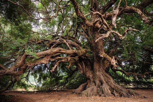 Olive Tree, Tree, Olivier, Old, Nature